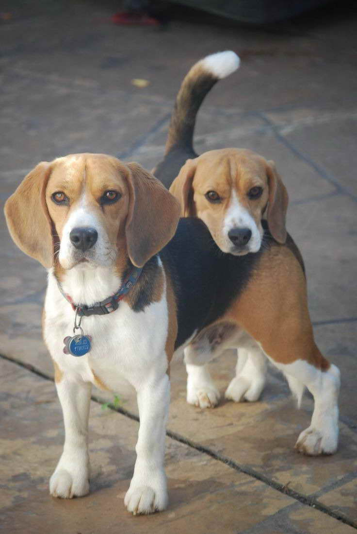 Beagle Puppies For Sale In Hungary