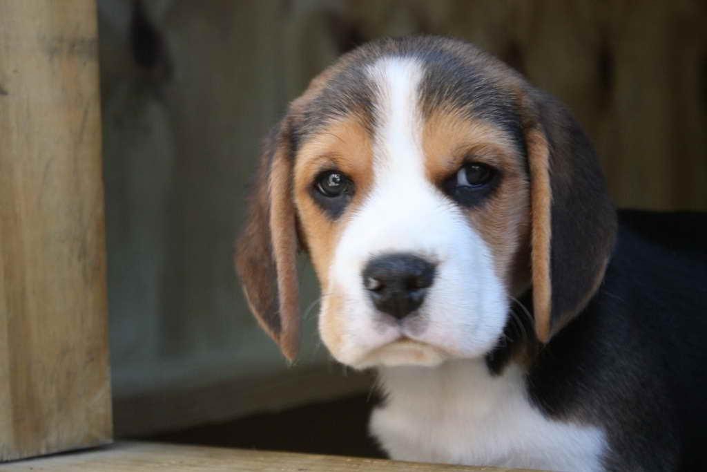 Beagle Puppies For Sale In Ga   PETSIDI