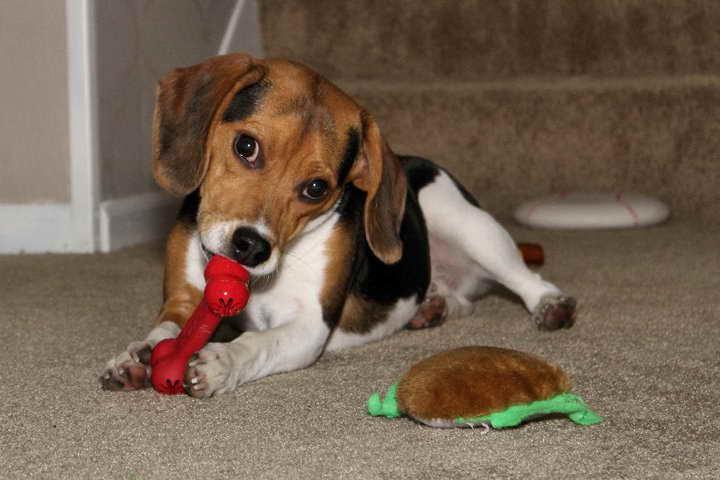 Beagle Puppies For Sale In Illinois   PETSIDI