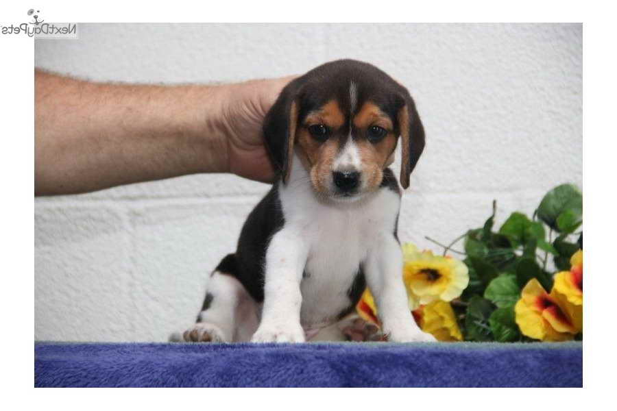 Beagle Puppies For Sale In Lancaster Pa Pets And Dogs