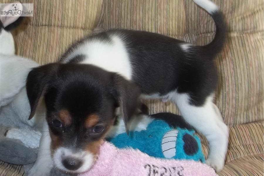 Beagle Puppies For Sale In Richmond Va   PETSIDI