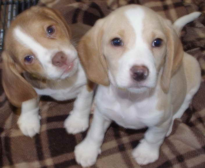 Beagle Puppies For Sale Michigan | Pets and Dogs