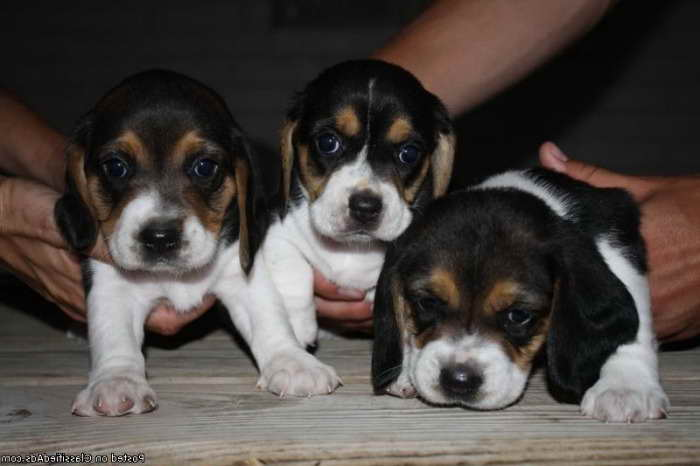 Beagle Puppies For Sale Mn Pets And Dogs
