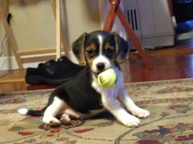 Beagle Puppies For Sale Rochester Ny Pets And Dogs