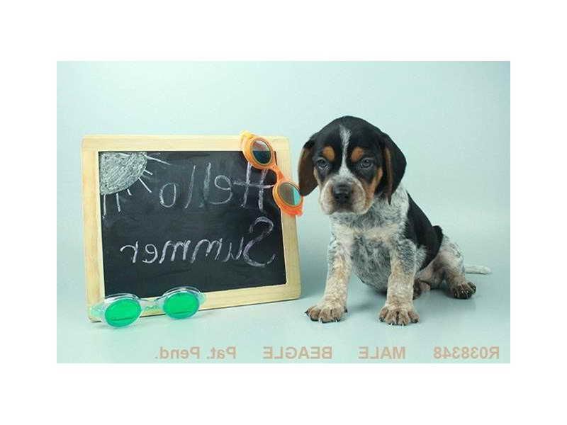 Beagle Puppies Knoxville Tn   PETSIDI