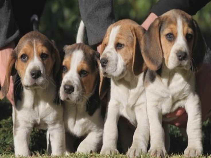 Beagle Puppies Michigan Pets And Dogs