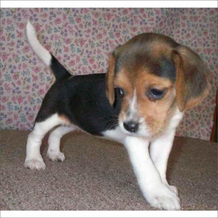 Beagle Puppies South Florida   PETSIDI