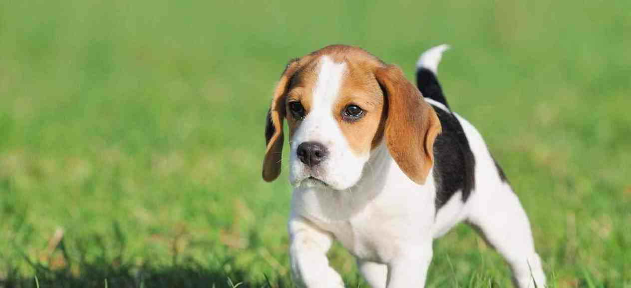Beagle Pups For Sale In Pa Pets And Dogs