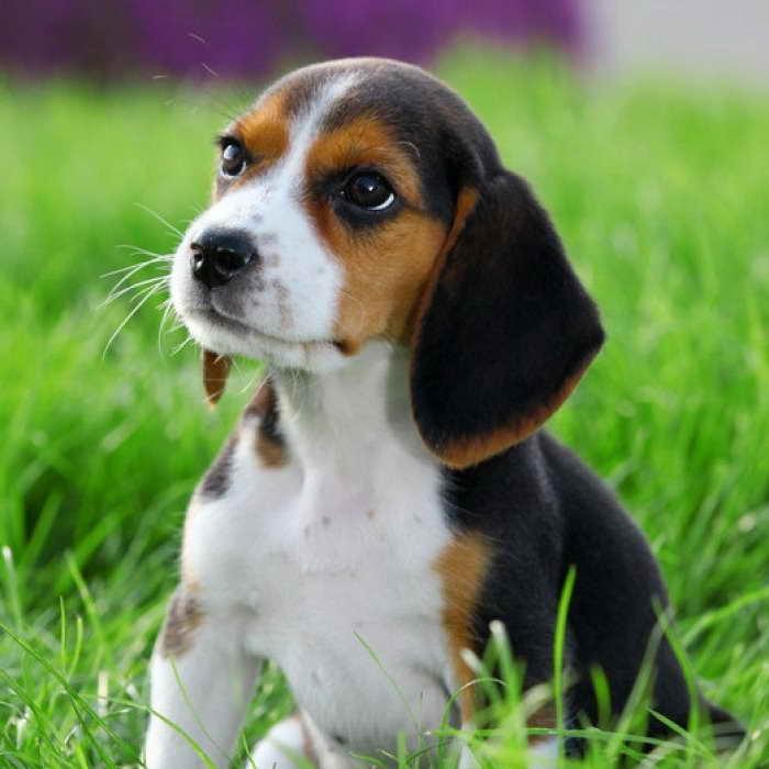 Beagle Rescue Kansas City Petsidi