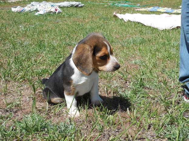 Beagle Rescue Sacramento Petsidi