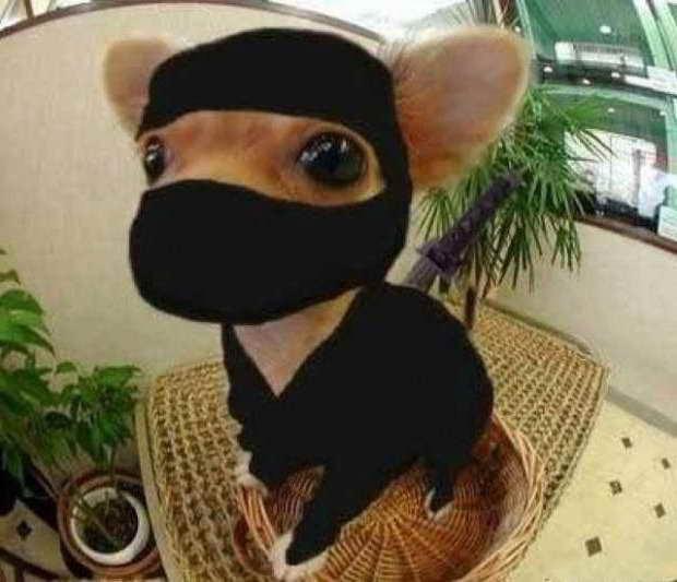 Best Chihuahua Halloween Costumes