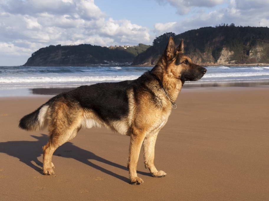 German shepherd – habitat, size, species and diet with pictures