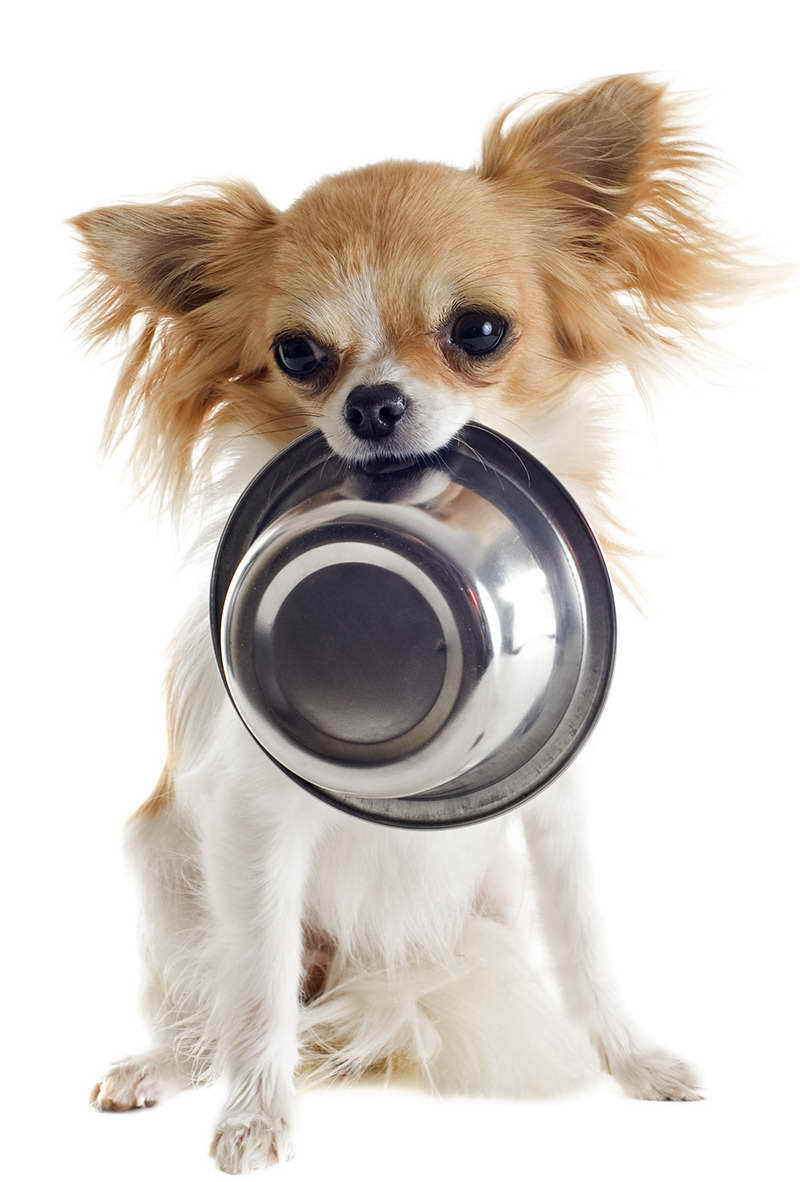 best food for chihuahua best dog food for teacup chihuahua pets and dogs 5927