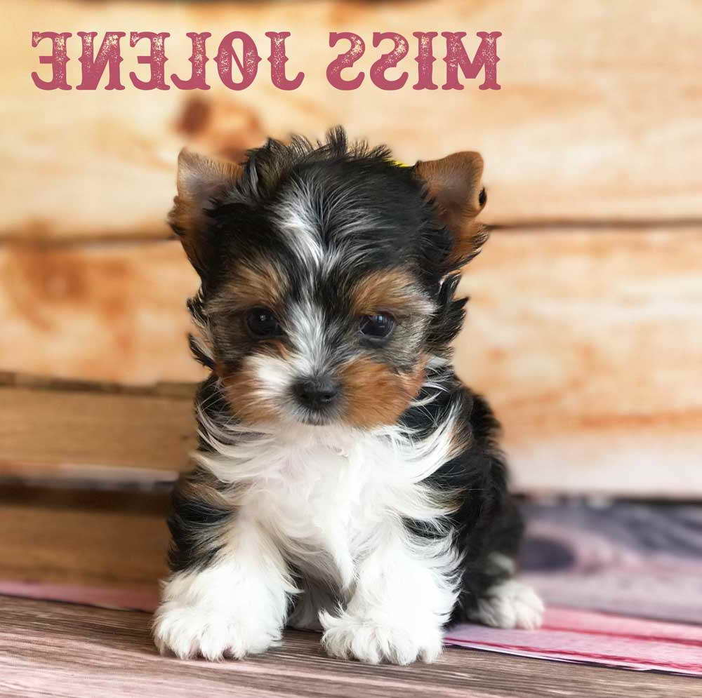 Biewer Yorkshire Terrier For Sale