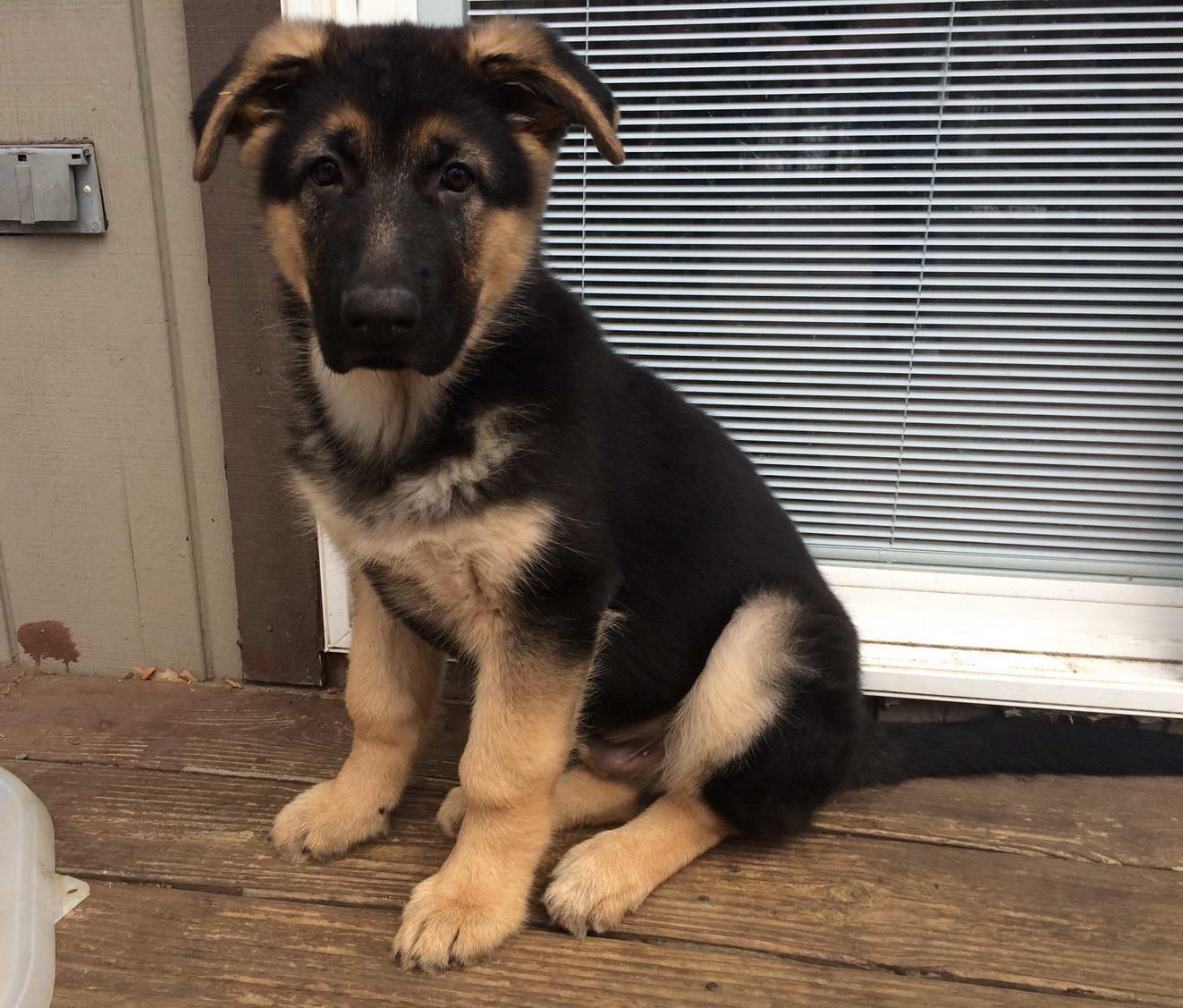 Big German Shepherd Puppies