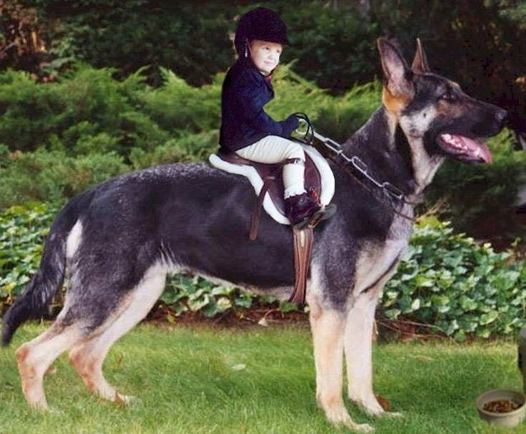 Biggest German Shepherd In The World