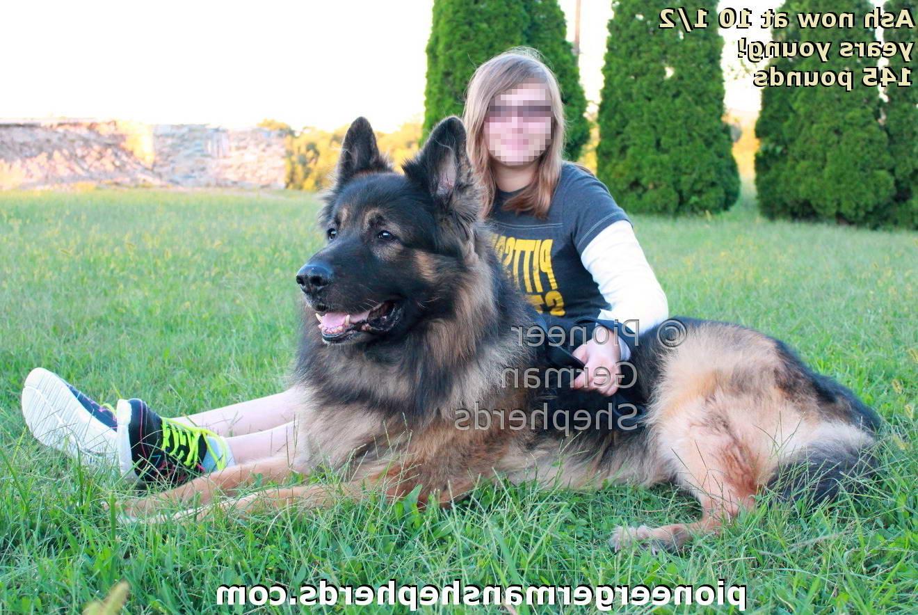 Biggest German Shepherd
