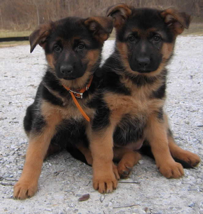 black and red german shepherd puppies for sale black and red german shepherd puppies for sale pets and dogs 5114