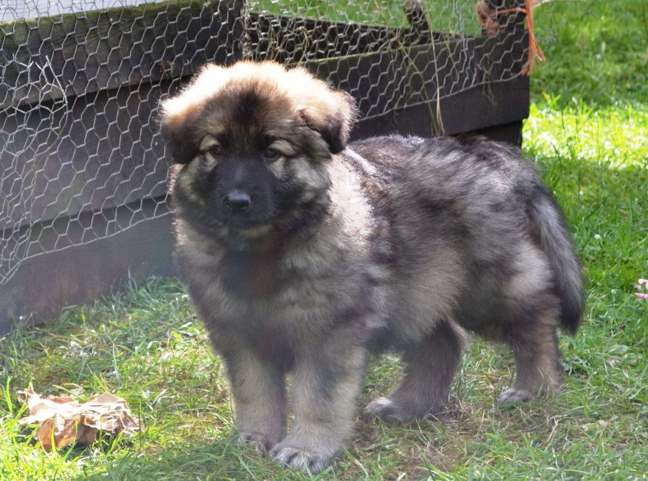 Black And Tan German Shepherd Puppies For Sale – Pets and Dogs