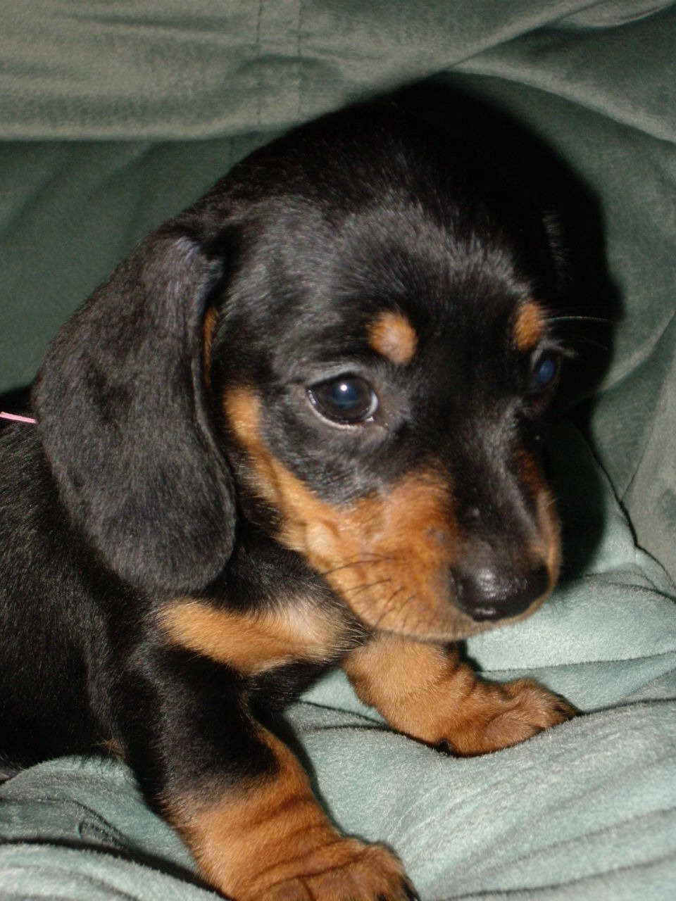 Black And Tan Mini Dachshund Puppies For Sale Petsidi