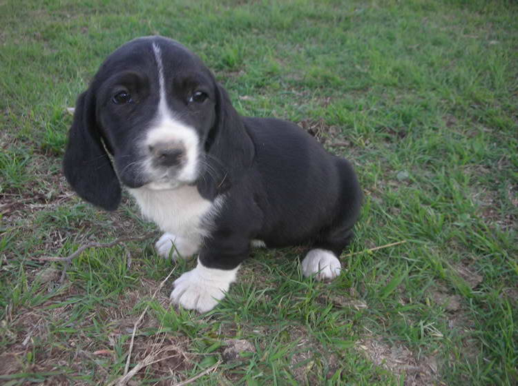 Black And White Basset Hound Puppies For Sale