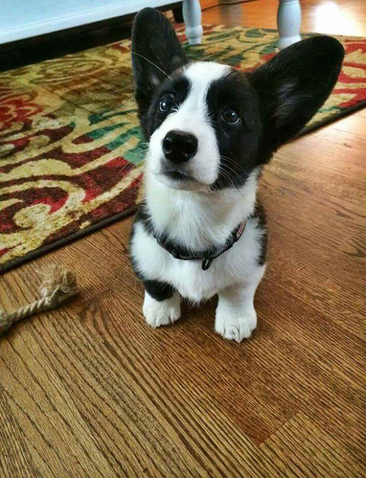 black and white corgi puppies for sale pets and dogs