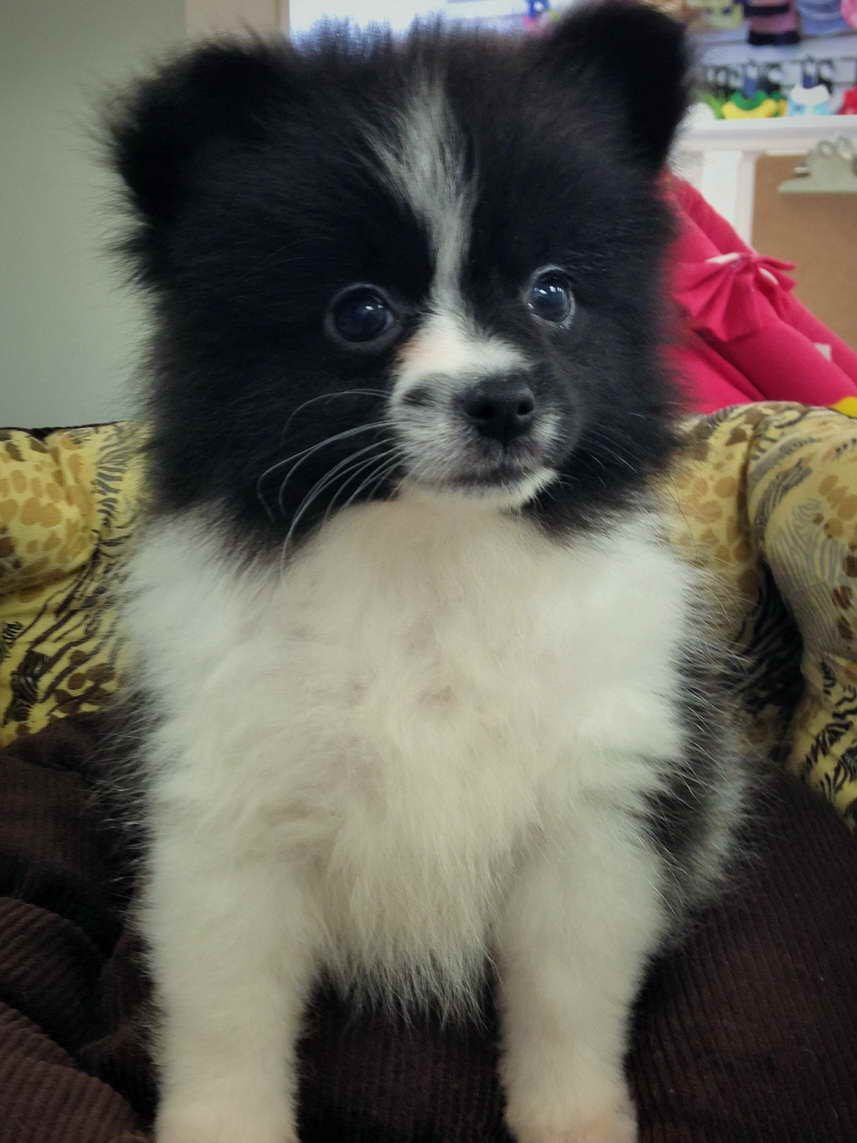 Black And White Pomeranian Puppy Petsidi