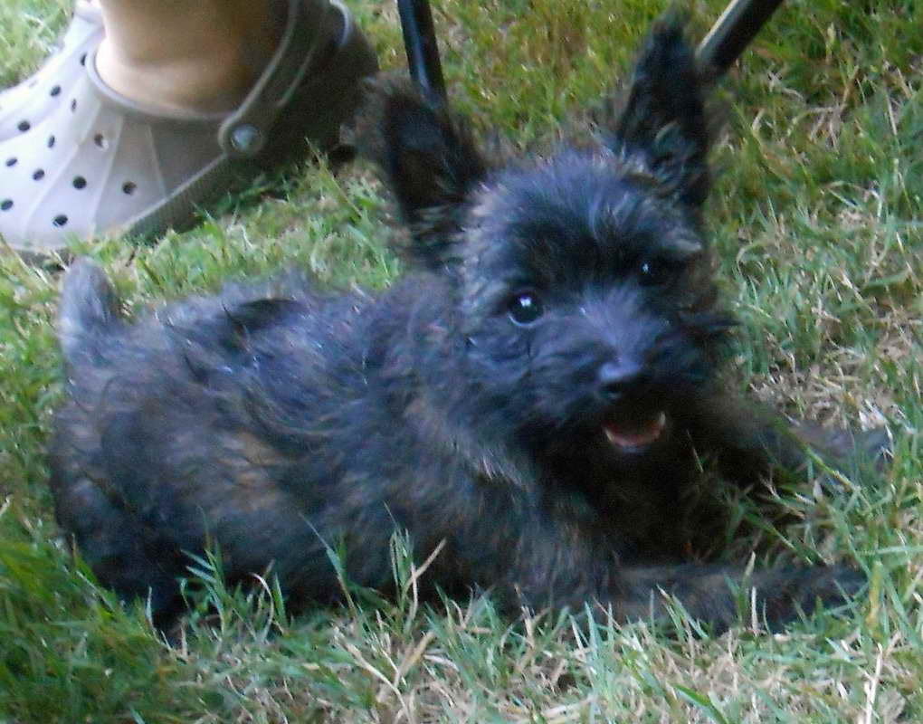Black Cairn Terrier Puppies For Sale | Pets and Dogs