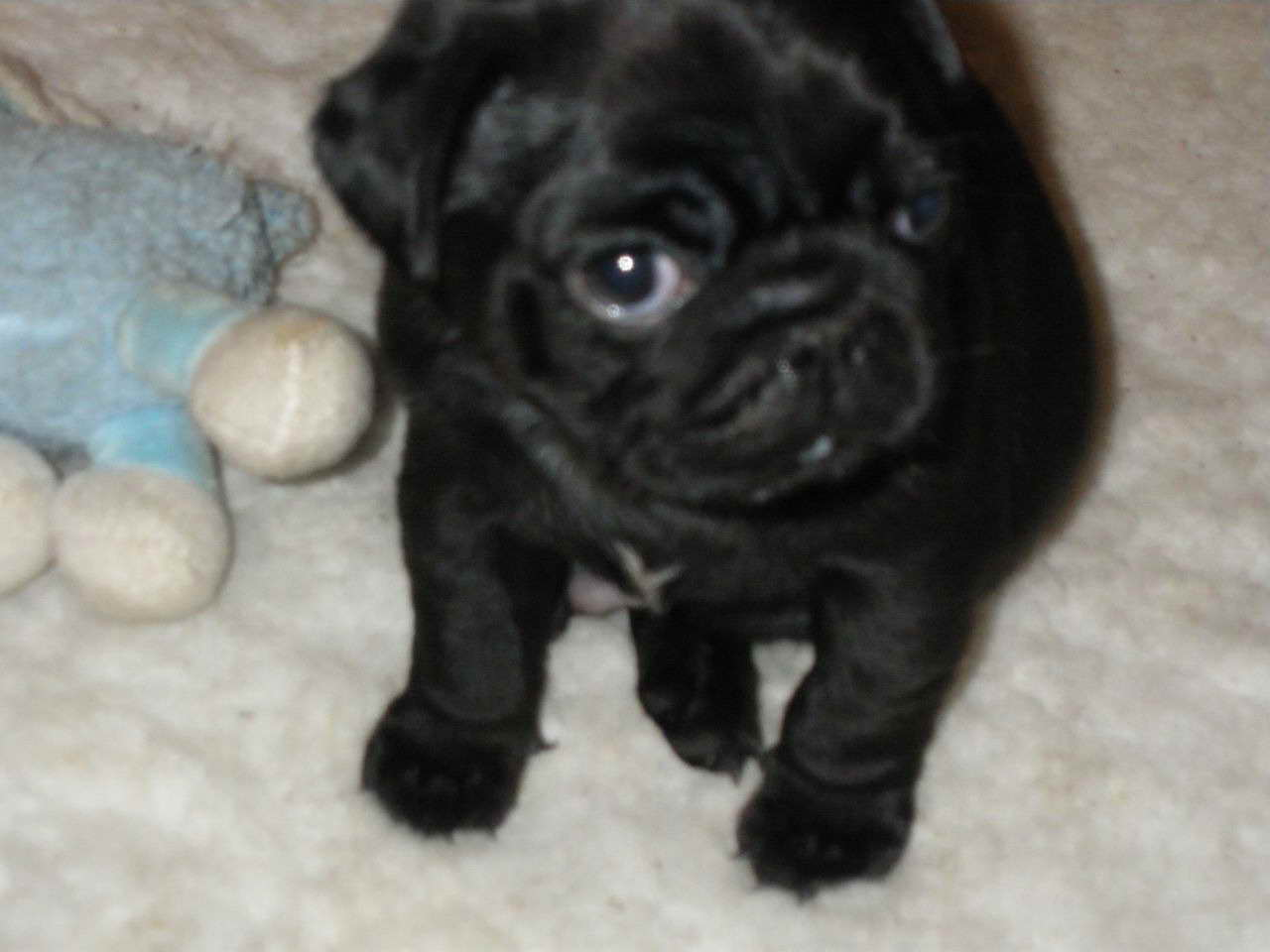 female pug for sale black female pug for sale pets and dogs 4722