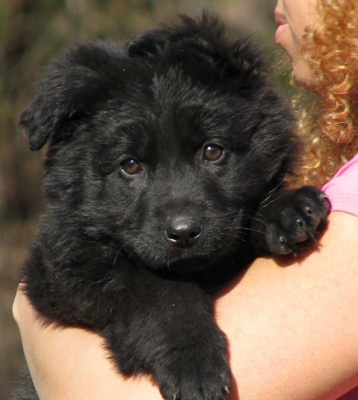 1 LEFT Black German Shepherd Puppy For Sale In Scotland UK