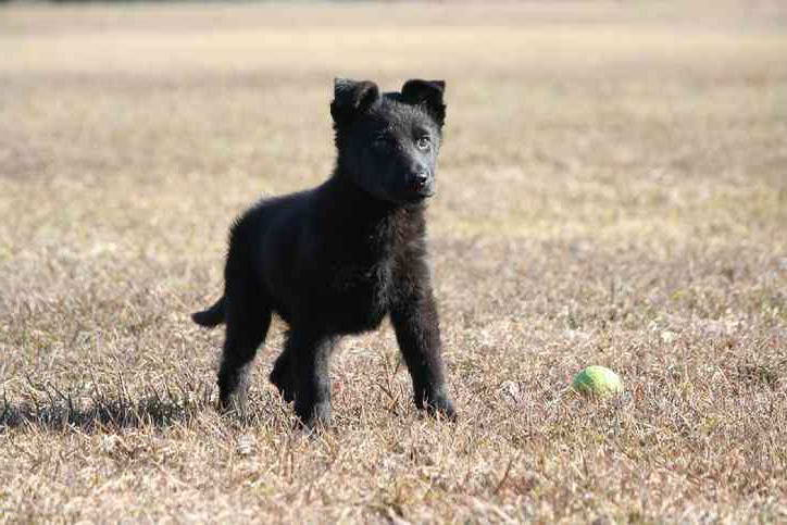 Black German Shepherd Puppies For Sale In Ct – Pets and Dogs