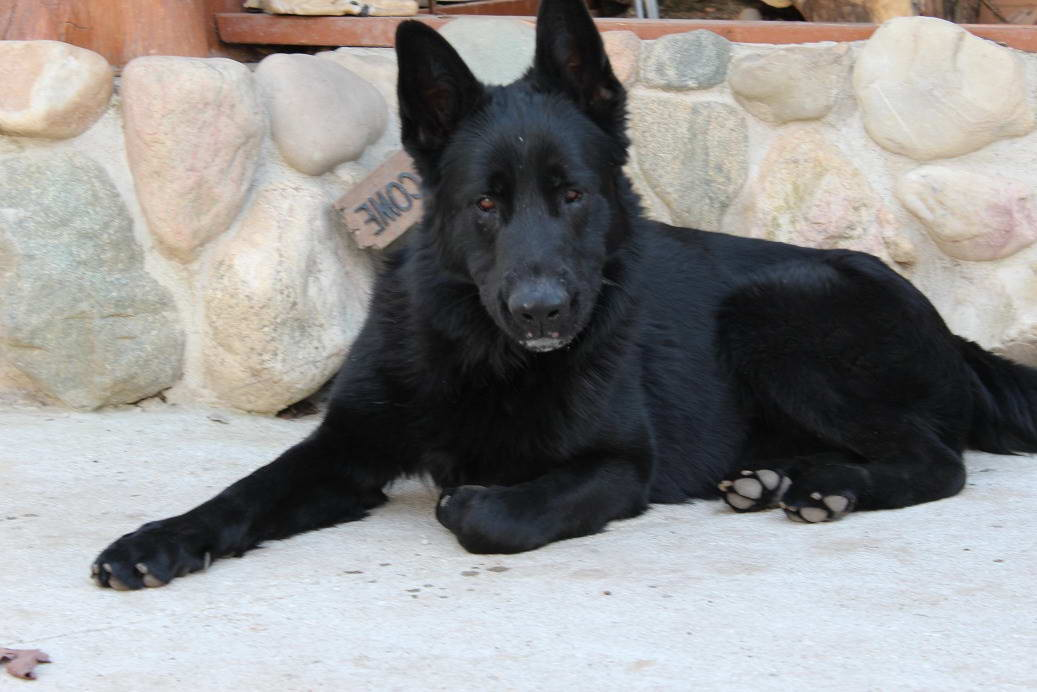 Beautiful pure bred Black German Shepherd Puppies For Sale In New Zealand