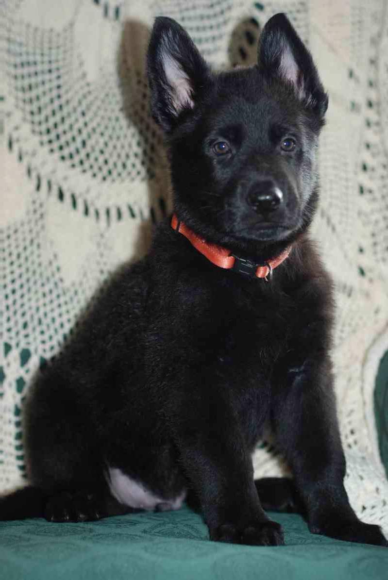 Black German Shepherd Puppies Ohio