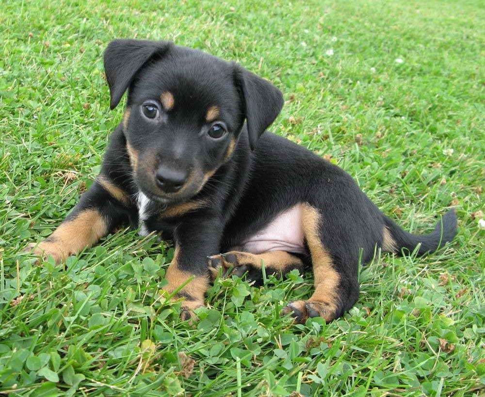 black jack russell terrier black jack russell terrier pets and dogs 9371