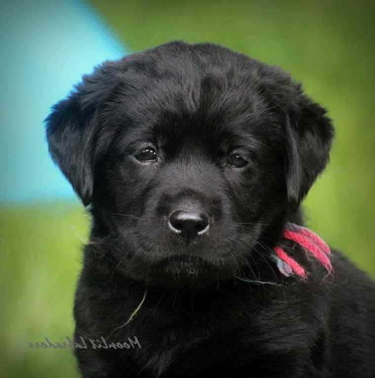 Black Labrador Retriever Puppies For Sale Near Me | PETSIDI