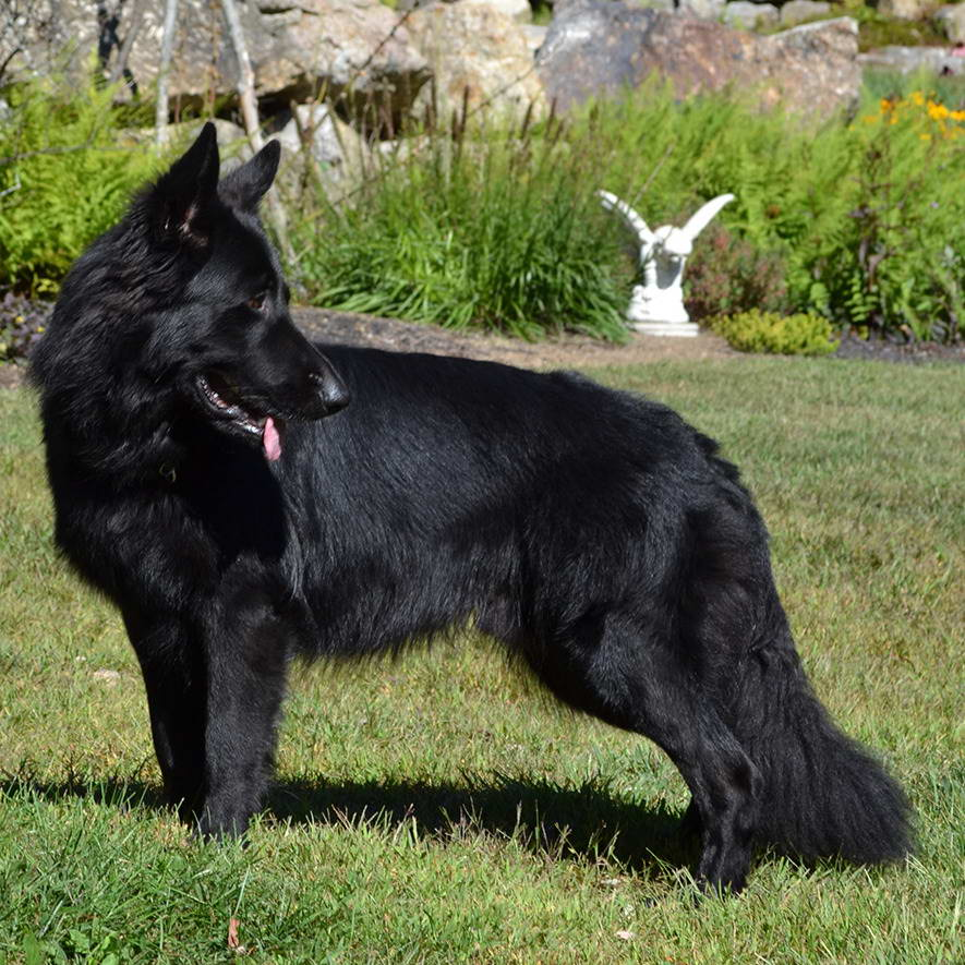 long haired black german shepherd puppies for sale black long haired german shepherd for sale pets and dogs 9807