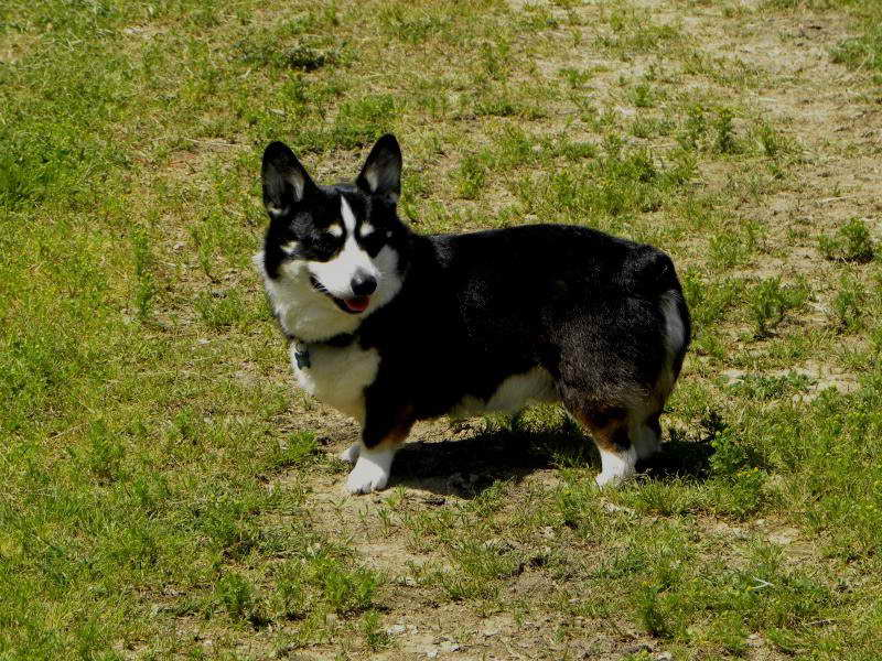 black pembroke welsh corgi pets and dogs