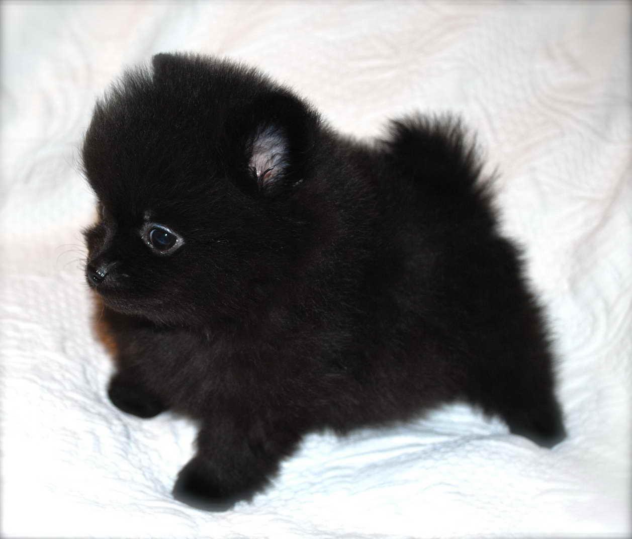 Black Pomeranian Puppies For Sale Petsidi