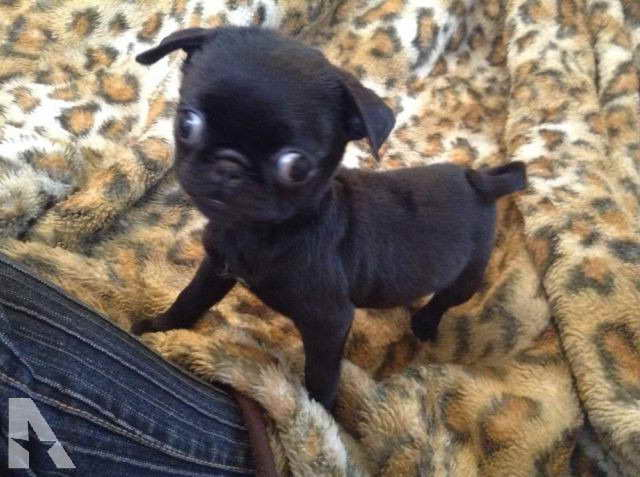Black Pug Puppies For Sale In Ohio Petsidi