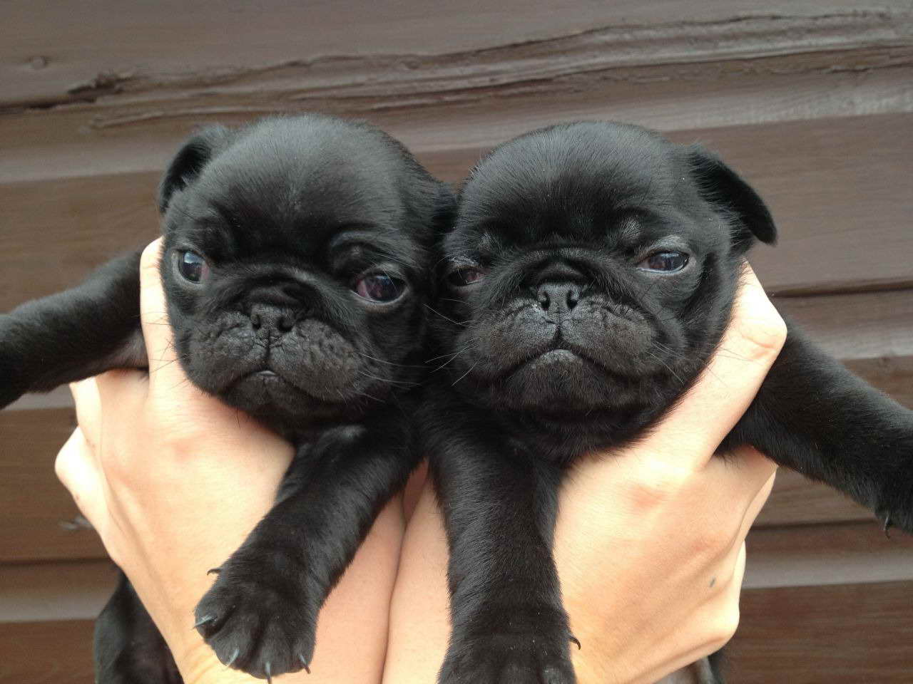 Black Pug Puppies For Sale Near Me