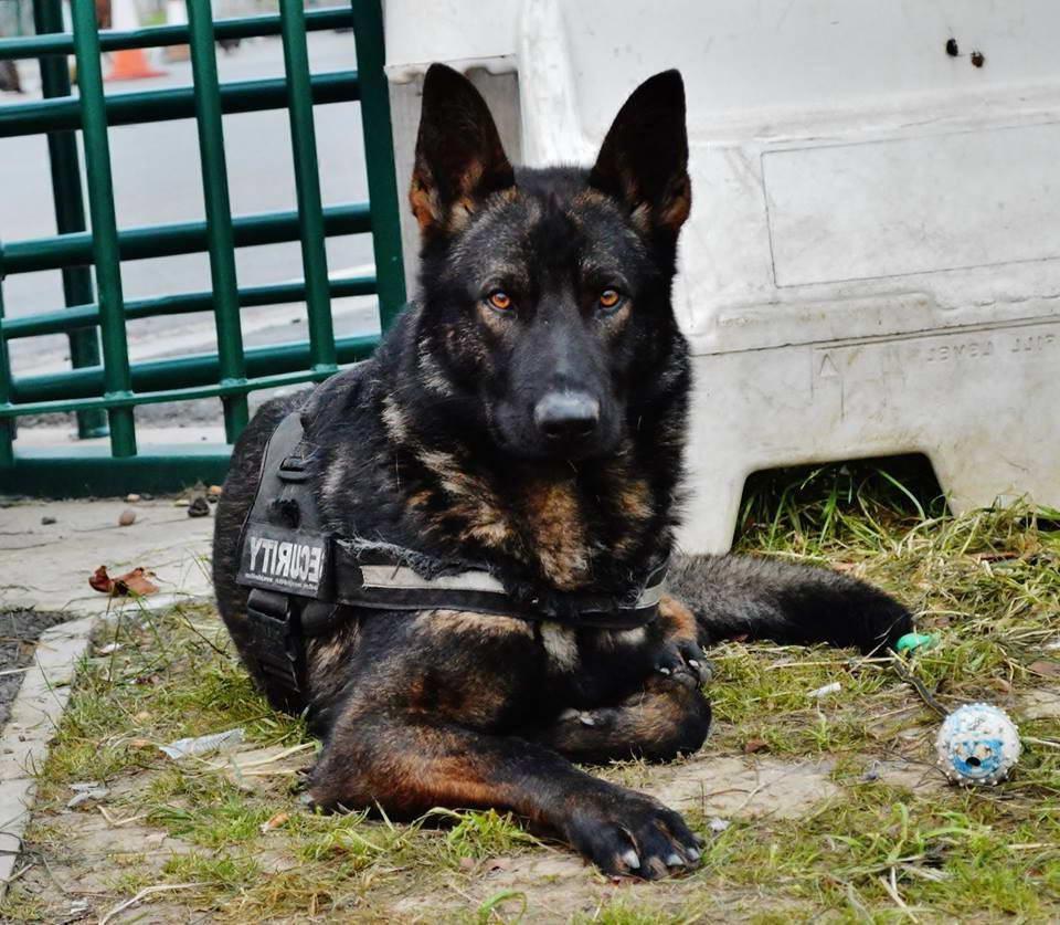 Black Sable German Shepherd