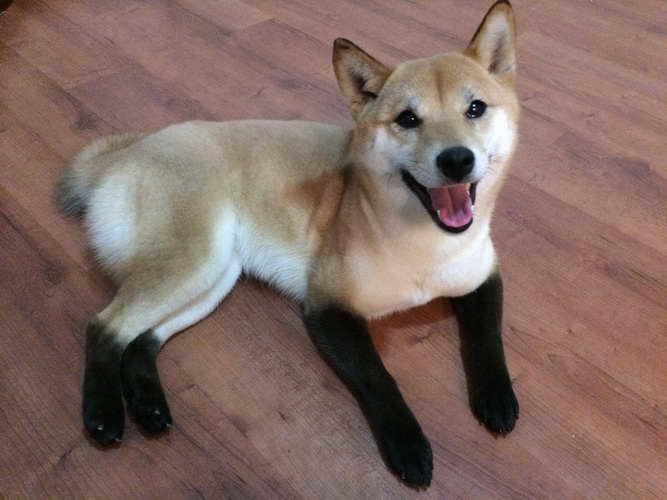 Black Shiba Inu Price Pets And Dogs