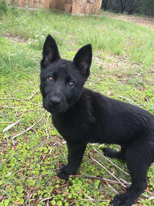 Black Short Haired German Shepherd Puppies Petsidi