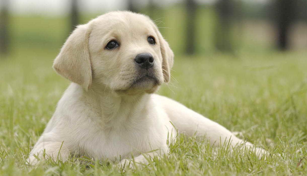 Blonde Labrador Petsidi