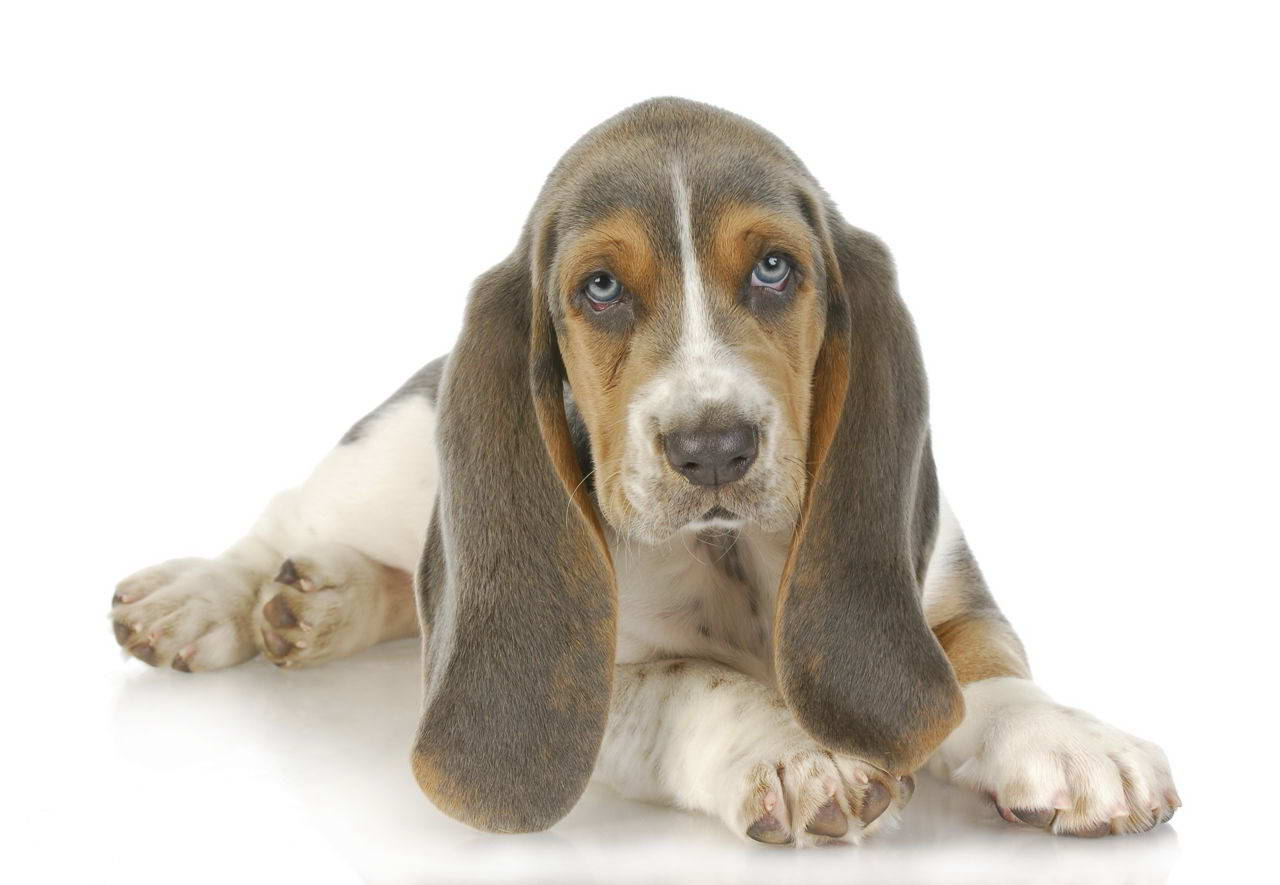 blue basset hound puppies for sale pets and dogs
