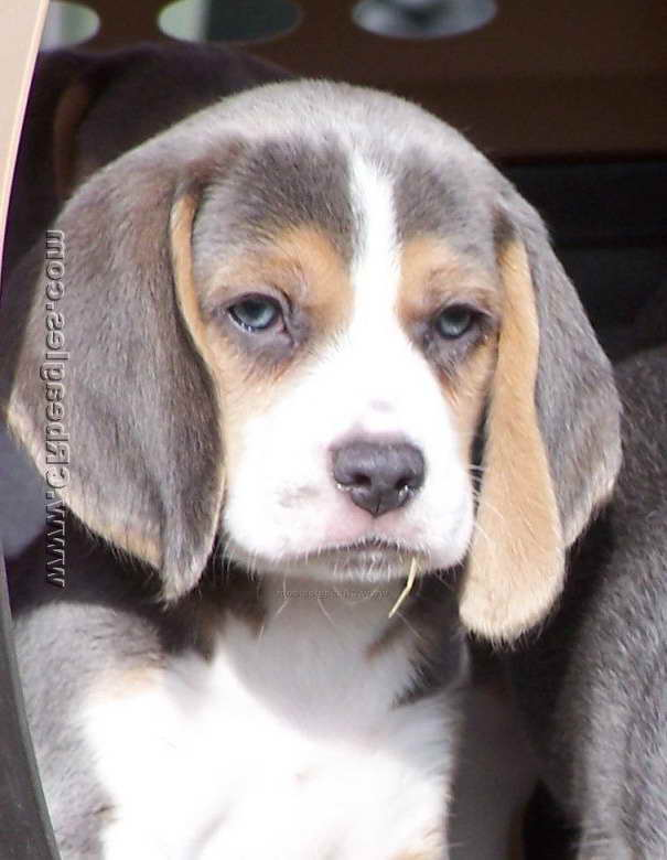 Blue Beagle Puppies For Sale