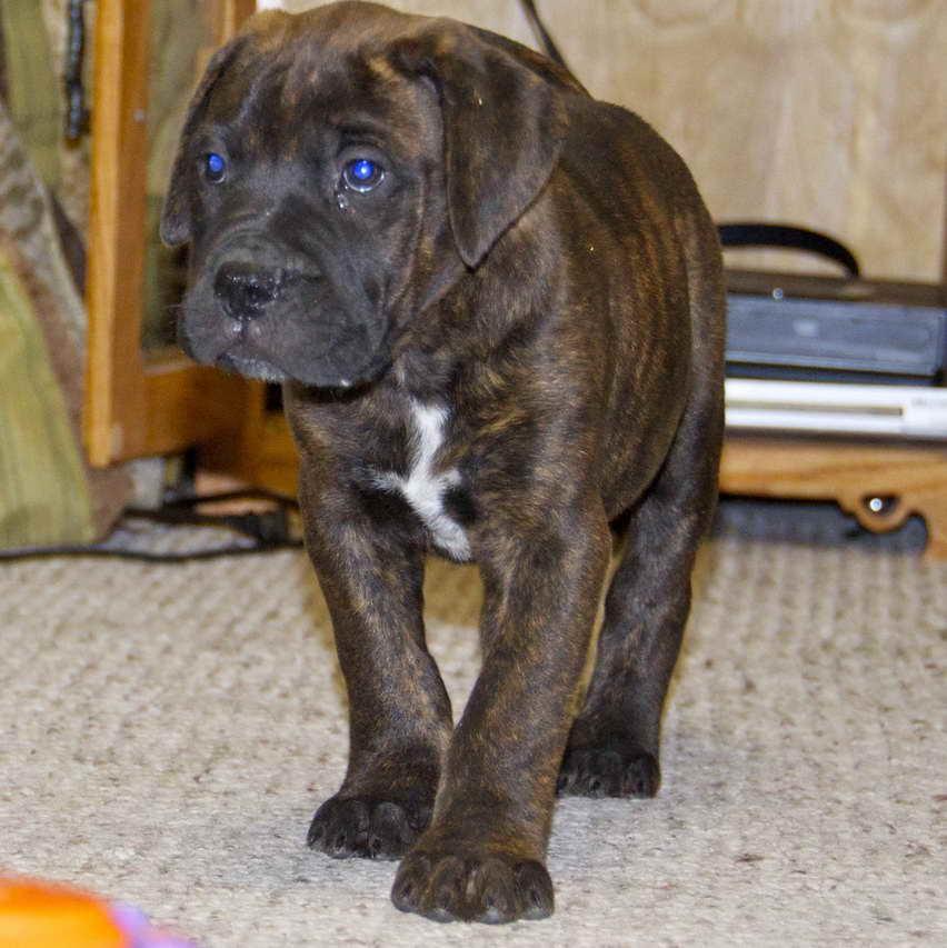 Blue Bull Mastiff Puppies