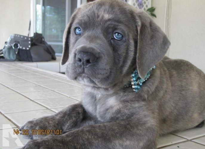Blue Cane Corso Mastiff Puppies For Sale Pets And Dogs