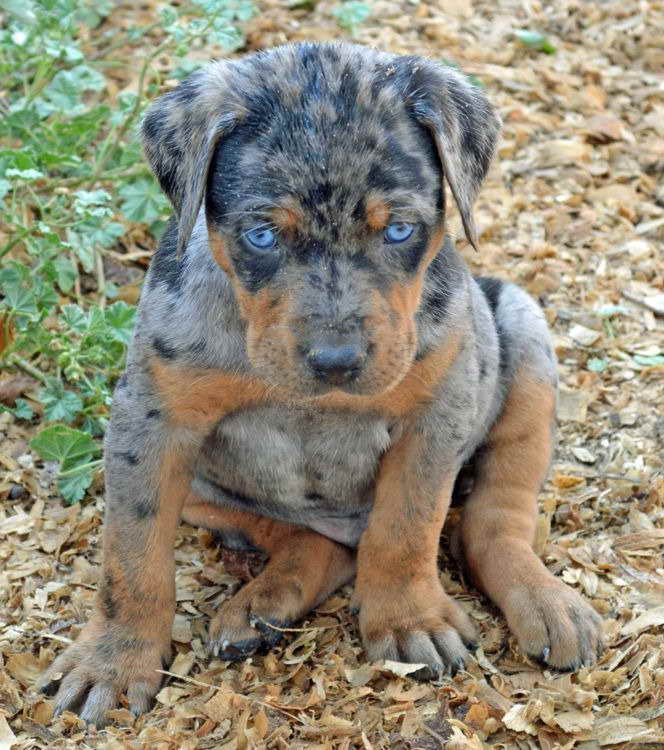 Blue Catahoula Leopard Dog Puppies For Sale Pets And Dogs