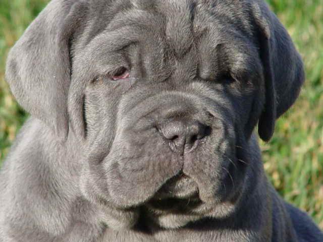 Blue English Mastiff Puppies For Sale